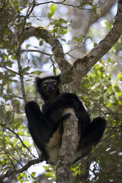 L'Indri Indri,le plus grand des lémuriens, lémurien phare de l'Aire Protégée d'Anjozorobe Angavo