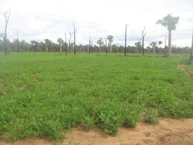 plantation d'arachide valencia.jpg