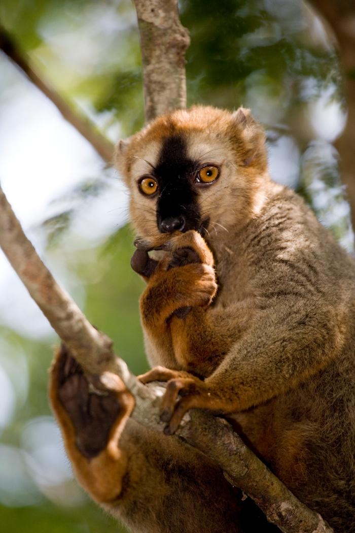 Lémur roux, Eulemur rufus, P.N. de Kirindy, Madagascar